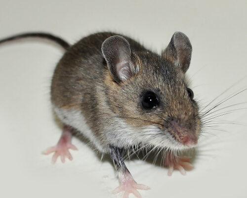 Rodent Species - Deer Mice