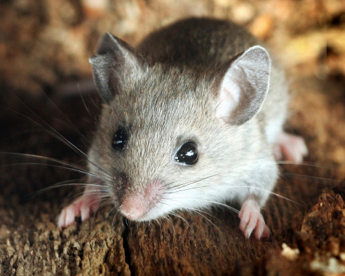 Rodent Species - House Mice