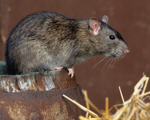 Rodent Species - Norway Rats