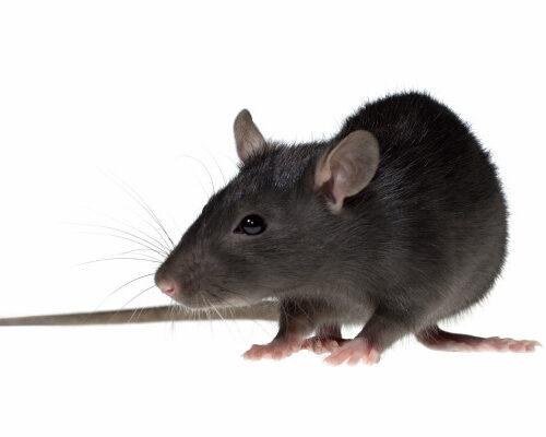 Rodent Species - Roof Rats
